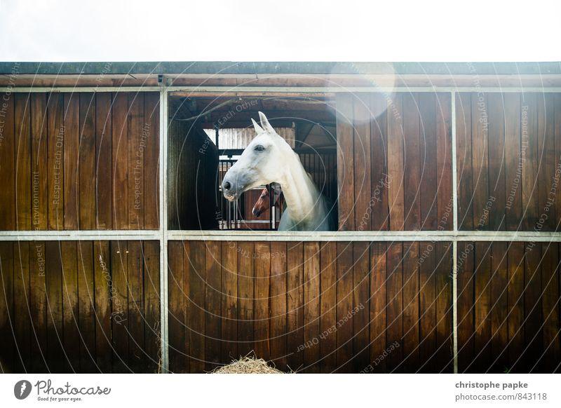 white beauty Freizeit & Hobby Reitsport Stall Pferdestall Tier Nutztier 1 Blick Stolz Schimmel pferdebox Farbfoto Außenaufnahme Menschenleer Textfreiraum oben