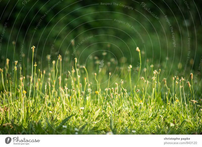 Hörst du das Gras wachsen? Natur Pflanze Sommer Wiese Gras Blüte natürlich Garten Park Wachstum Grünpflanze