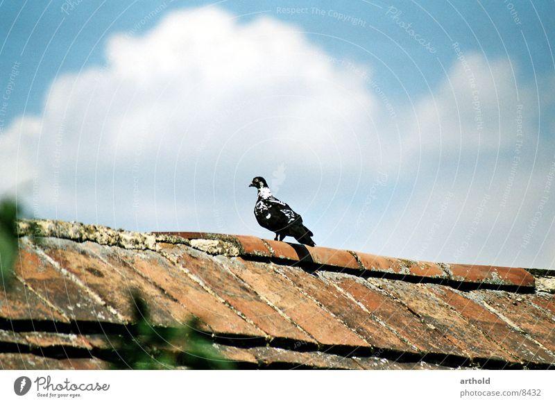 Ausschau halten 1 Taube Vogel Federvieh