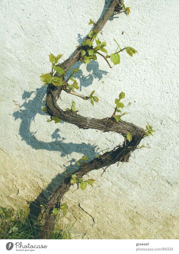 frühling-weinstock Frühling frisch Wein Zeichen Logo