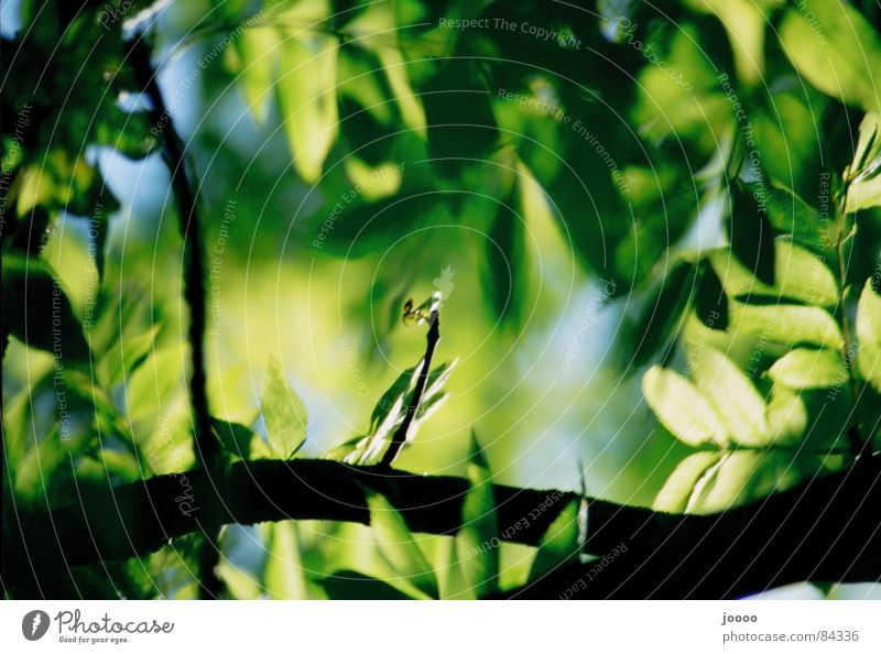 Grünes Dach Baum grün Pflanze Blatt Ast Tiefenschärfe Zweig Grünpflanze