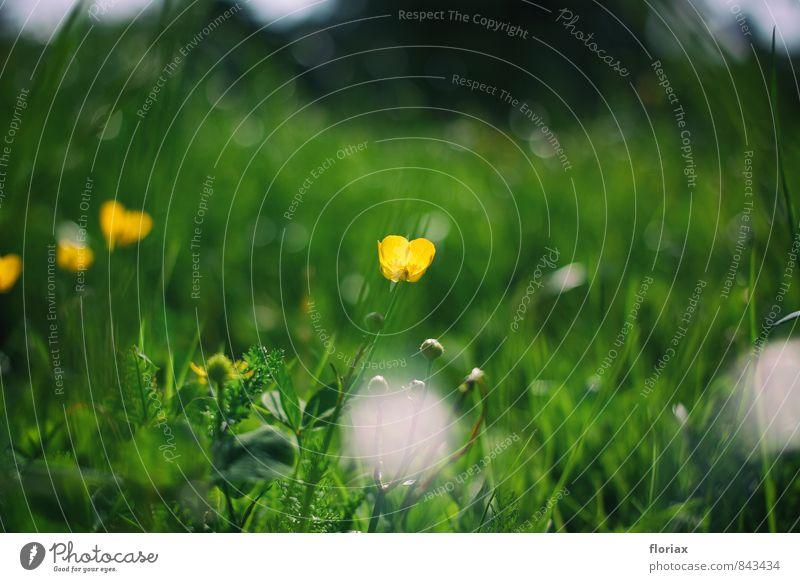 butterblume im park harmonisch Umwelt Natur Pflanze Sonnenlicht Frühling Blume Blüte Park Wiese Blühend leuchten Wachstum gelb Butterblume Köln Nippes