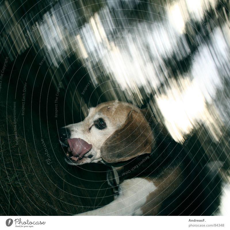 HundeRennen Hundefutter Fuchsjagd Jäger Waldboden Fußweg Gefühle verfolgen Beagle Jagdhund Pfote Schwanz Fährte Spaziergang Spielen Geschwindigkeit Nadelwald