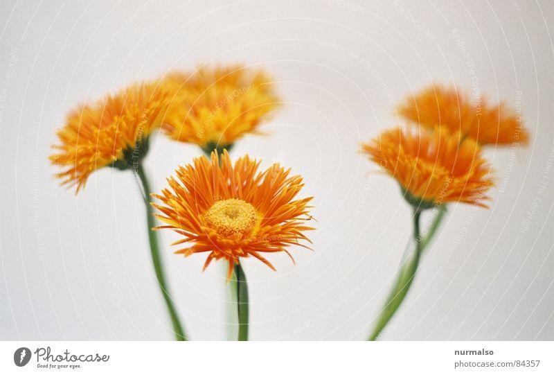 alle sechs weiß Blume Kunst orange 3 Kreis trist weich analog Blumenstrauß Kunsthandwerk lichtvoll ähnlich Talkrunde