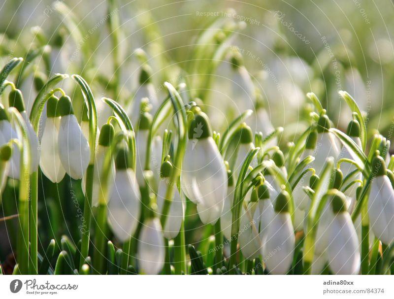 irgendwie rein... Schneeglöckchen zart Zärtlichkeiten grün frisch Frühling Blume weiß lichtvoll vitalisierend Gras Sauberkeit zierlich sensibel Garten Park