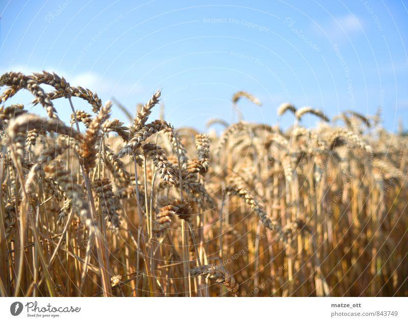 Getreidefeld im Sommer Himmel Natur Pflanze Sommer ruhig Landschaft natürlich Feld Schönes Wetter Warmherzigkeit Landwirtschaft trocken Getreide Wolkenloser Himmel Ernte Ackerbau