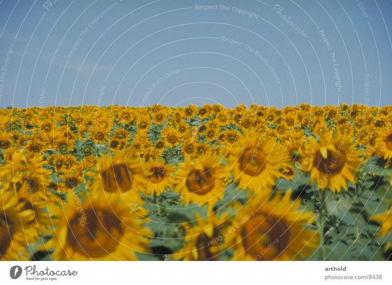 Sonnig bis zum Horizont 2 Sonnenblume Sonnenblumenfeld Blumenfeld Pflanze Feldfrüchte Ölfrucht Blüte Blühend