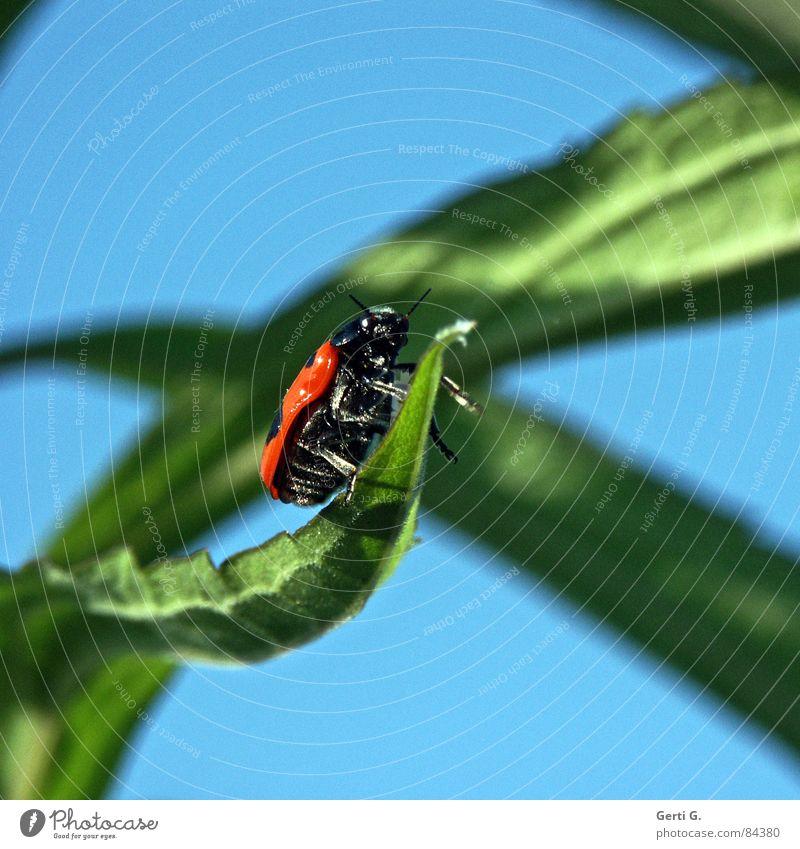 unbekanntes Flugobjekt Käfer grün frisch Blattgrün Marienkäfer gepunktet Unschärfe Insekt himmelblau Profil Seite UFO Fühler Sommer Frühlingsgefühle sommerlich