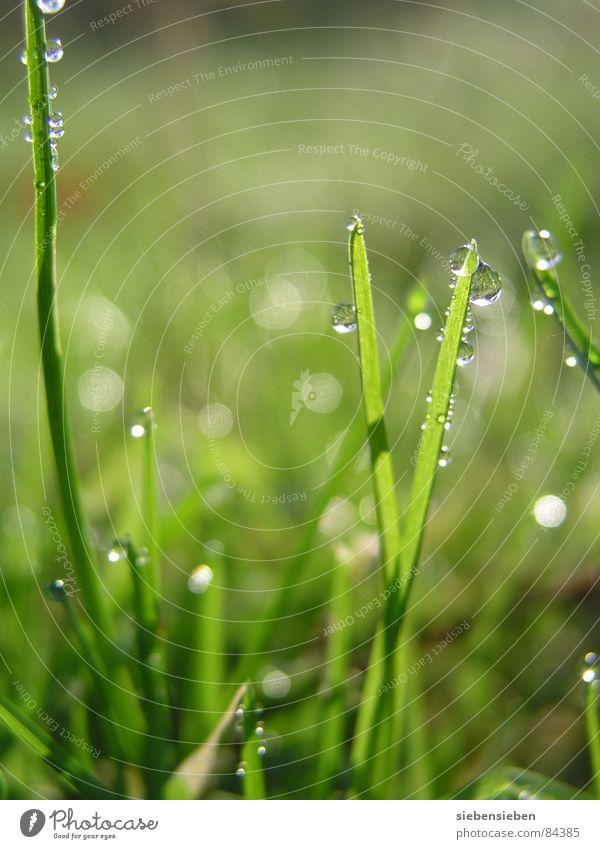 Im Morgenlicht Beleuchtung glänzend schön Wiese Gras Halm grün Wassertropfen feucht nass frisch saftig Lichteinfall Naturphänomene Sonnenaufgang hell prächtig