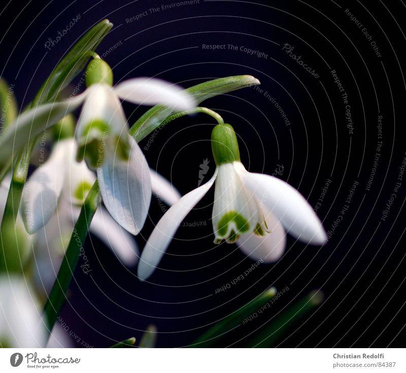 Galanthus nivalis Pflanze Blüte Frühling Schneeglöckchen schwarz grün Garten weiß Weiß-Klee Frühlingsblume Makroaufnahme Nahaufnahme Schwarzweißfoto
