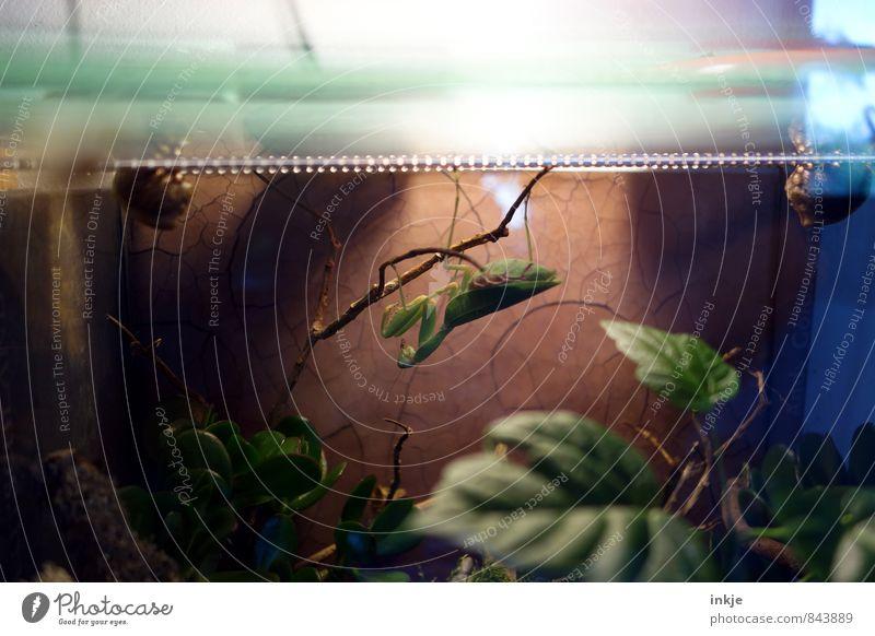 einzelne Gottesanbeterin Pflanze grün Tier außergewöhnlich warten Haustier exotisch hängen Interesse hocken Tierhaltung Terrarium