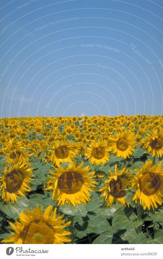 Sonnig bis zum Horizont Sonnenblume Sonnenblumenfeld Blumenfeld Pflanze Feldfrüchte Ölfrucht Blüte Blühend