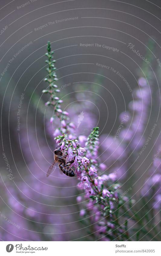 solange noch die Heide blüht Umwelt Natur Pflanze Sommer Blüte Wildpflanze Heidekrautgewächse Bergheide Biene Insekt Blühend schön grau violett Sommergefühl