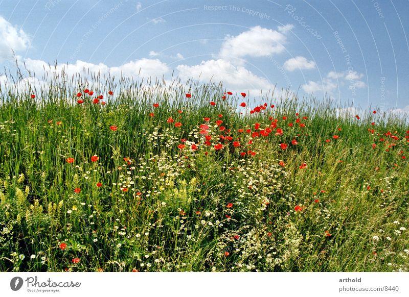 Schöner Straßengraben Himmel grün Sommer Blume Wolken Wiese Gras Blüte Frühling Blühend Mohn Blumenwiese Klatschmohn Böschung