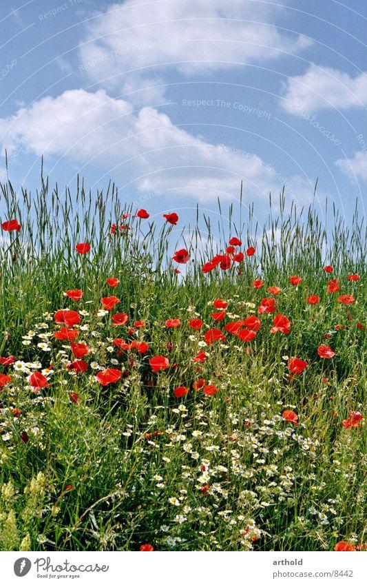 Schöner Straßengraben Blume Wiese Blumenwiese grün Wolken Mohn Klatschmohn Frühling Sommer Blüte Gras Himmel Blühend Böschung