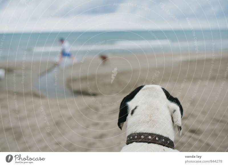 Beobachtungsposten Ferien & Urlaub & Reisen Tourismus Ferne Freiheit Sommer Sommerurlaub Sonne Strand Meer Tier Haustier Hund Strandhund 2 beobachten listig