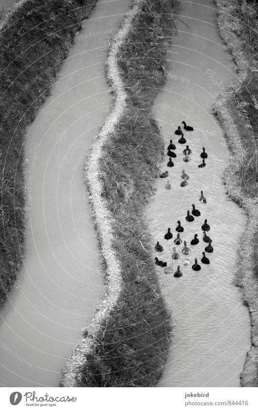 Ententropfen Küste Schwimmen & Baden Vogel Tiergruppe Fluss