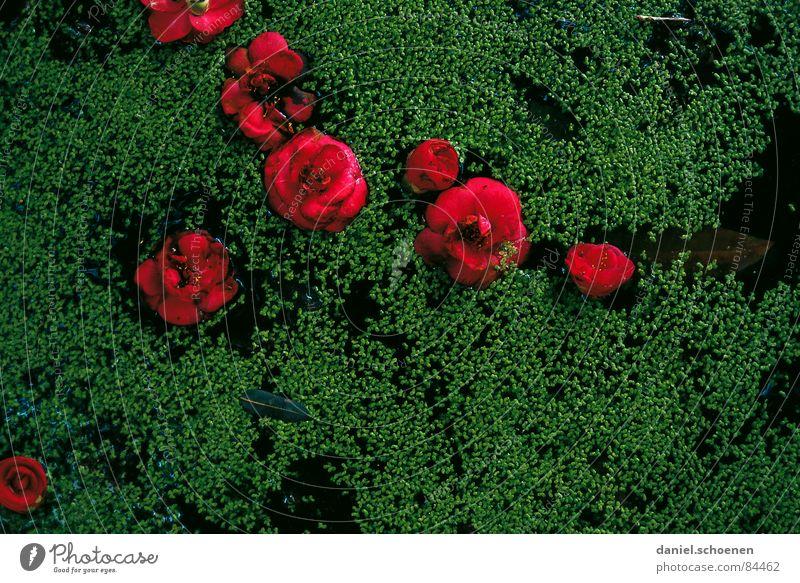 rot-grün Blume Blüte Asien Japan abstrakt dunkel Vergänglichkeit Gegenteil violett pflanzlich kamelie Kontrast Wasser Punkt Pflanze Natur kurzlebig