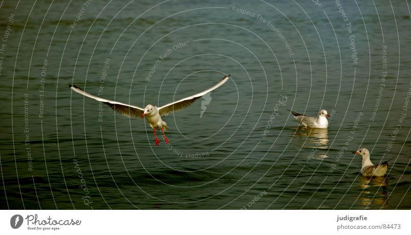 Drei Möwen Wasser Meer Tier See Vogel fliegen 3 Luftverkehr Feder Flügel Schwimmen & Baden Flugzeuglandung Ostsee Möwe flattern