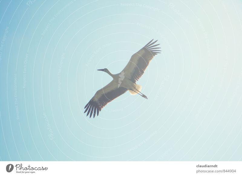 Fly away Himmel Wolkenloser Himmel Tier Wildtier Vogel Flügel Storch Weißstorch 1 fliegen ästhetisch groß blau Freiheit Spannweite Zugvogel majestätisch Ferne