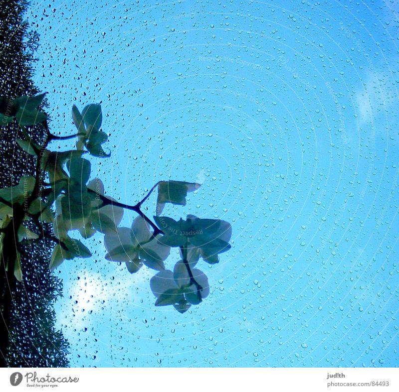 Regenblume Frühling Orchidee Blume Fenster grün weiß Wolken Fensterscheibe Wassertropfen Glas