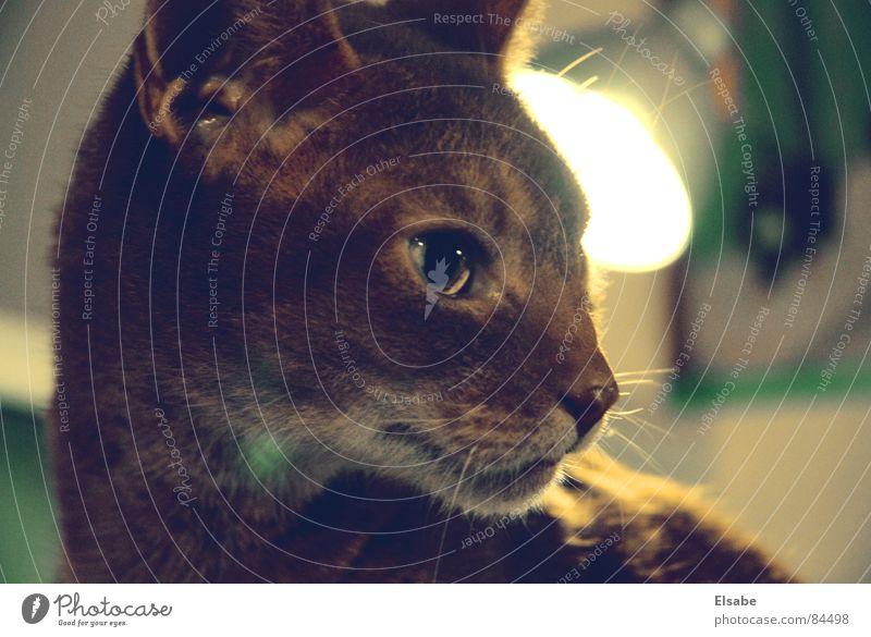 Schmidt's Katze lau Tier Landraubtier Reflektor Schnauze Barthaare Licht Fell Jäger aufregend Hauskatze Vogeljagd Nervosität Säugetier Stubenkater Theo
