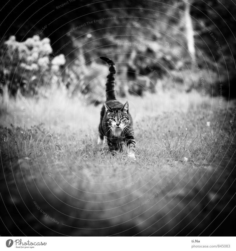 wait Sommer Schönes Wetter Gras Sträucher Garten Wiese Haustier Katze 1 Tier laufen rennen warten Freundlichkeit Glück Neugier schön feminin wild grau schwarz