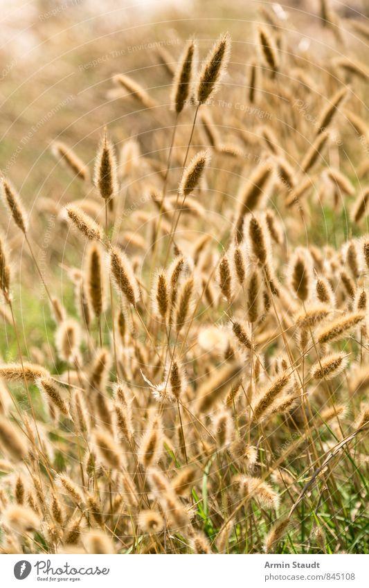 Blühendes Gras im Sommer Natur Pflanze schön Erholung Landschaft Tier Umwelt gelb Wiese Hintergrundbild Feld frisch ästhetisch Schönes Wetter