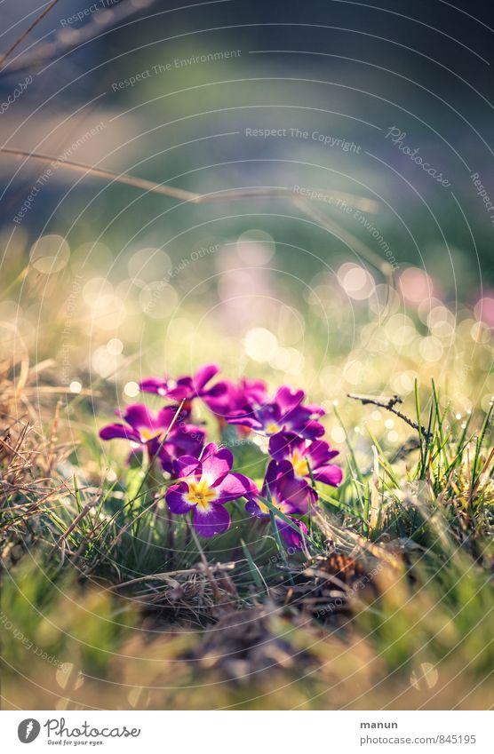 Primeln Natur Pflanze grün Frühling Blüte natürlich frisch violett Frühlingsgefühle Frühlingsblume Frühblüher Frühlingsfarbe Kissen-Primel