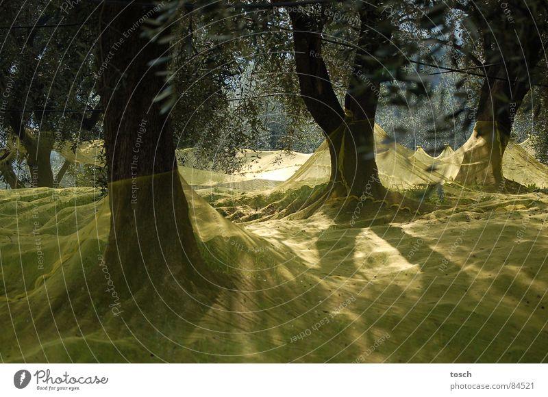 Olivenernte Baum gelb Landschaft Gegenlicht Landwirtschaft Netz Italien Ernte Olivenbaum