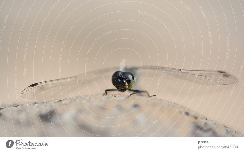 Libelle Umwelt Natur Tier Schönes Wetter Wildtier 1 grau rosa Insekt Flügel Farbfoto Außenaufnahme Nahaufnahme Makroaufnahme Menschenleer Textfreiraum oben Tag