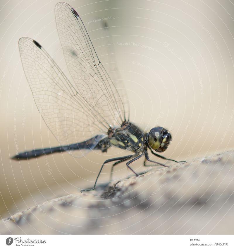 Flügel Umwelt Natur Tier Sommer Schönes Wetter Wildtier 1 grau grün Libelle Insekt Farbfoto Außenaufnahme Nahaufnahme Makroaufnahme Menschenleer