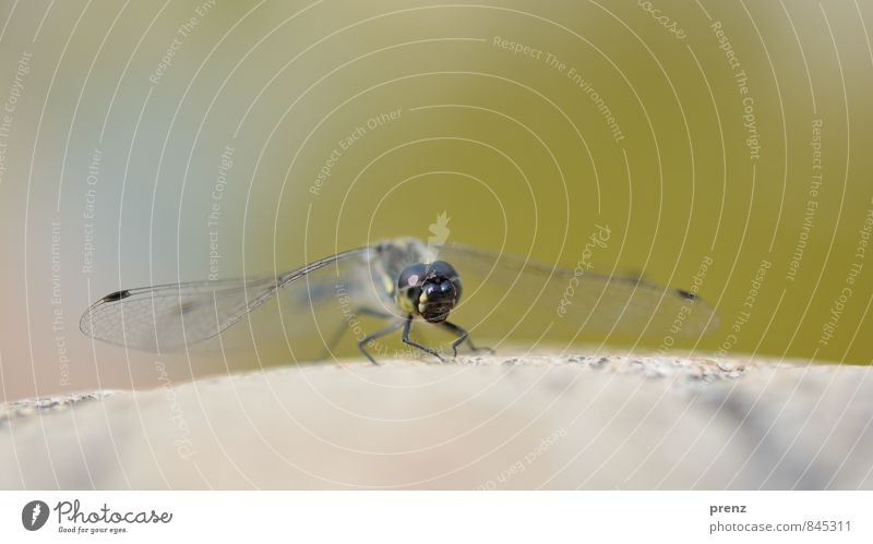 startklar Umwelt Natur Tier Wildtier 1 grau grün Libelle Insekt Farbfoto Außenaufnahme Nahaufnahme Makroaufnahme Menschenleer Textfreiraum oben Tag
