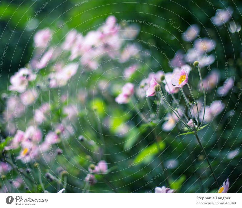 Anemone Natur Pflanze Wildpflanze Garten Wachstum ästhetisch Duft fantastisch schön Freude Glück Fröhlichkeit Zufriedenheit Frühlingsgefühle Blumenwiese