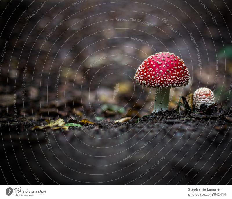Fliegenpilz Pflanze Erde Wald Essen Fröhlichkeit rot Glück fleißig Gift Glückspilz Pilz Farbfoto Nahaufnahme Menschenleer Textfreiraum links Tag Dämmerung