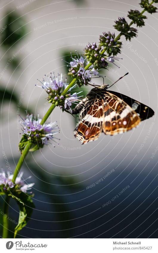 Schmetterlingssommer schön Sommer Tier natürlich Glück Zufriedenheit frisch zart Schmetterling zerbrechlich