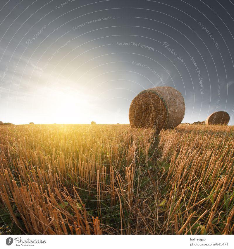 veggi-rouladen Wirtschaft Landwirtschaft Forstwirtschaft Business Erfolg Umwelt Natur Landschaft Pflanze Tier Erde Sonne Sommer Klima Schönes Wetter Nutzpflanze