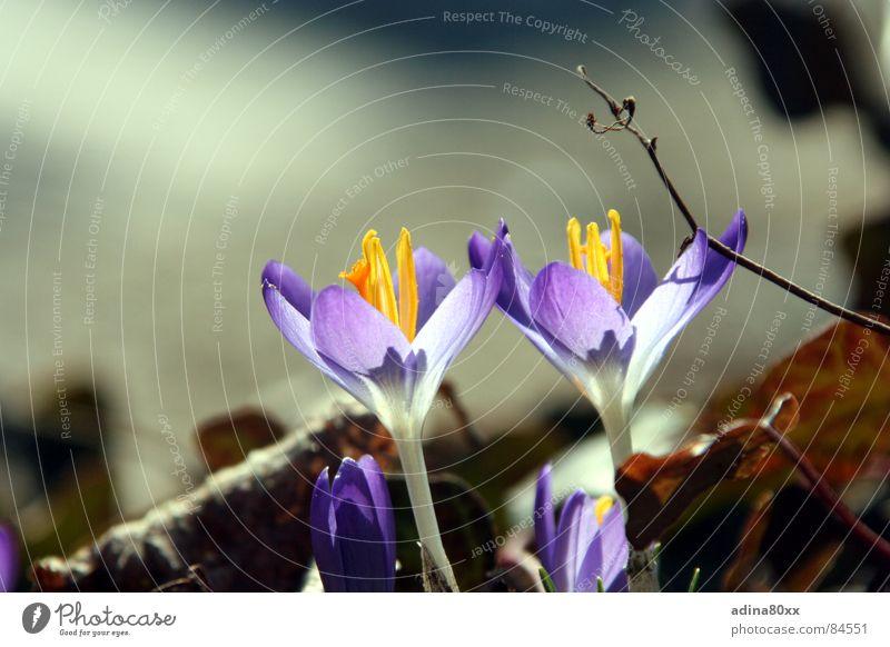 Erwachen Krokusse rein Blume Frühling frisch 2 Zusammensein schön zart Zärtlichkeiten violett Verbundenheit Teilung Natur Schönes Wetter makellos paarweise