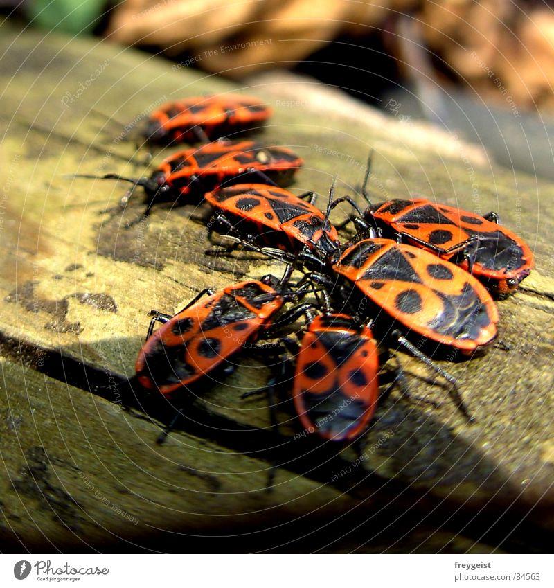 Die Bug-Verschwörung Insekt Schiffsbug Baum rot schwarz Tier Fühler krabbeln Frühling Käfer insects tree red black animals Beine legs mehrere woods forest