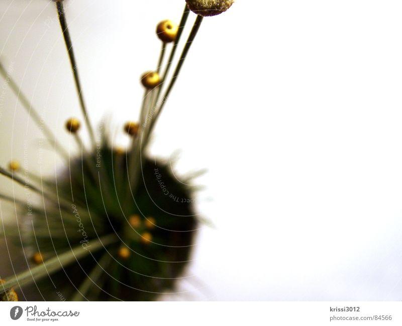 golden plant III Kugel Blume Pflanze grün Stengel rund Blumenstrauß Botanik Halm Pflanzenteile Blumenhändler Kreis Gras Gold Dekoration & Verzierung