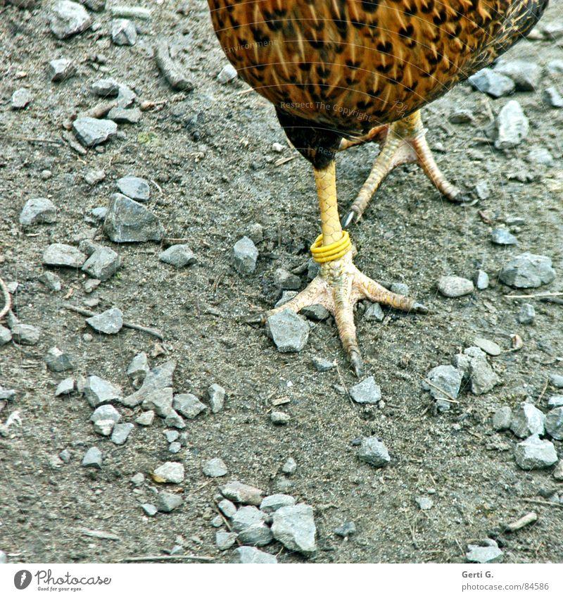 foot luck™ - die Serie - part 3 ruhig Auge Vogel Fuß gehen stehen Feder warten Kreis Haustier Ei Momentaufnahme Schnabel Haushuhn Krallen Hahn