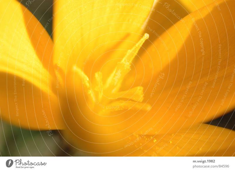 Gelb Farbfoto Nahaufnahme Detailaufnahme Makroaufnahme Starke Tiefenschärfe Pflanze Frühling Blume Blüte Krokusse Blütenstempel Blütenkelch Pollen Frühblüher