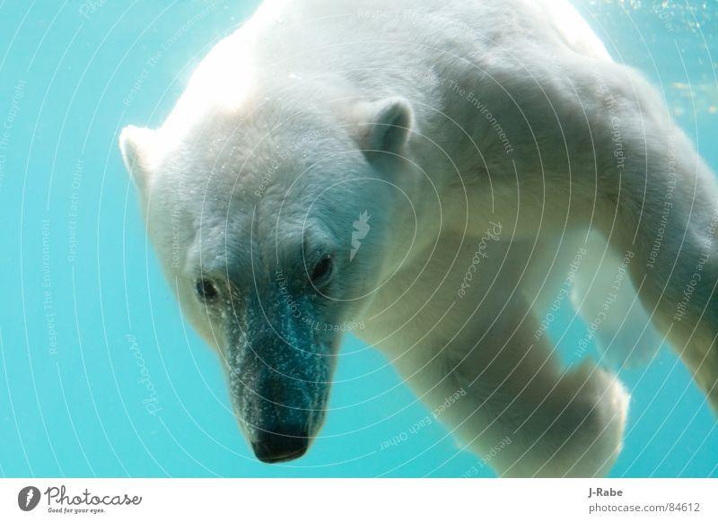 Eisbär - eiskalt tauchen Wasser lichtvoll Säugetier Farbfoto Außenaufnahme Tag Licht Schatten Tierporträt Blick Unterwasseraufnahme Menschenleer Kopf Fell weiß
