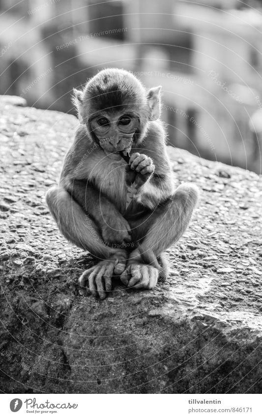 Affenblick Ernährung Essen Tier Wildtier Tiergesicht 1 Tierjunges füttern sitzen ästhetisch einfach Freundlichkeit schön Neugier niedlich positiv schwarz weiß