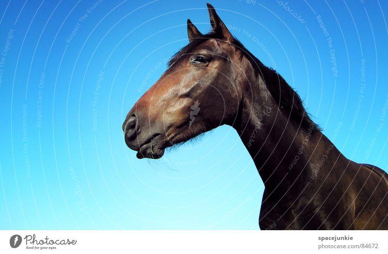 Celestino (3) Pferd Tier Außenaufnahme Gras Mähne Weide horse Natur Rasen Himmel