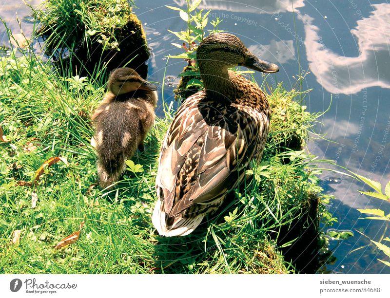 Sonnenbad Natur Wasser Sommer Tier Wiese Gras See Landschaft Zusammensein Vogel Rasen Fluss Schutz Ente Geborgenheit
