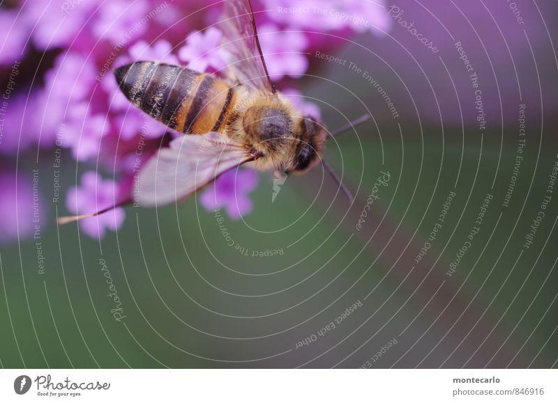 biene wieder da! Natur Pflanze Sommer Blatt Tier Umwelt Blüte natürlich klein wild Wildtier authentisch Flügel einfach weich dünn