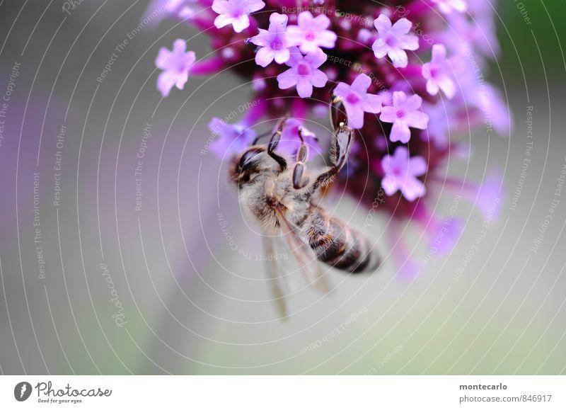 abhängen Umwelt Natur Pflanze Sommer Schönes Wetter Blume Blatt Blüte Wildpflanze Biene 1 Tier Duft dünn authentisch Freundlichkeit frisch klein nah natürlich
