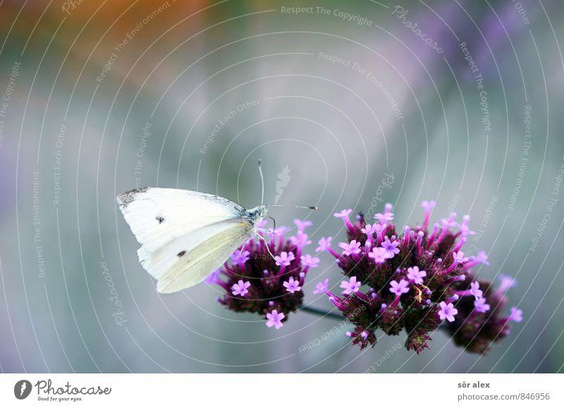 Mahlzeit Umwelt Natur Pflanze Sommer Blume Blüte Schmetterling 1 Tier violett rosa weiß Farbfoto Außenaufnahme Makroaufnahme Menschenleer Textfreiraum links