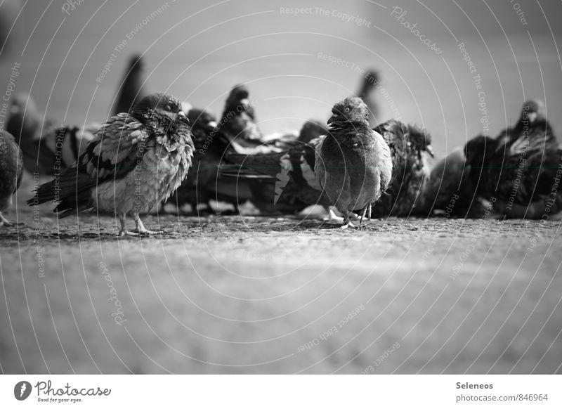 kalt am Morgen Tier Wildtier Vogel Taube Tiergesicht Flügel Tiergruppe Schwarm natürlich Schwarzweißfoto Außenaufnahme Menschenleer Tag Licht Schatten Kontrast